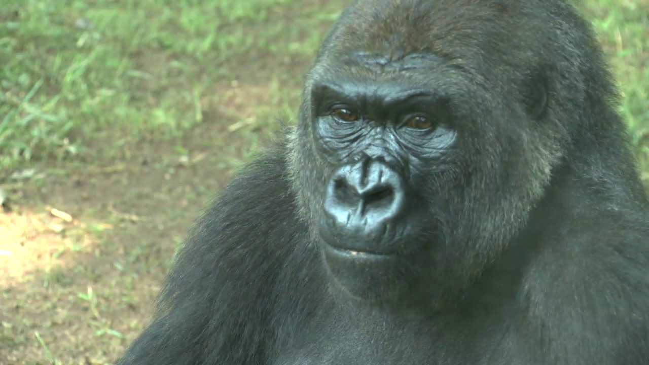 Great Ape Weekend at the NC Zoo