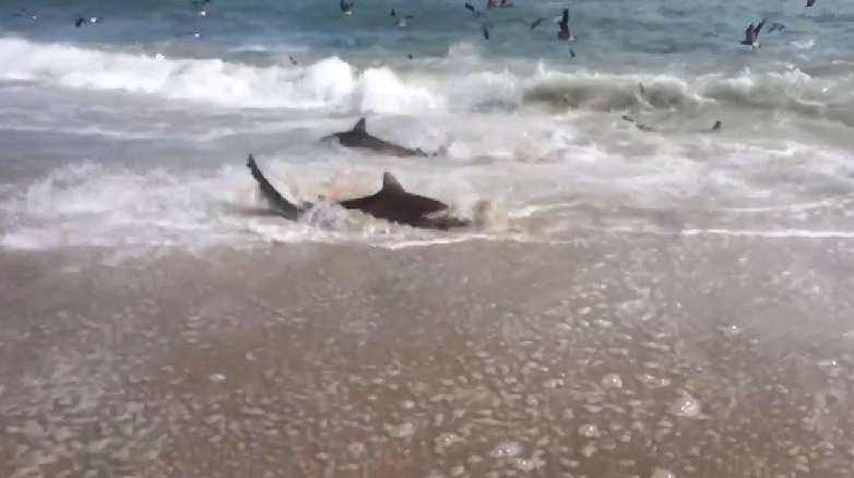Shark Feeding Frenzy Filmed At Outer Banks Myfox8 Com