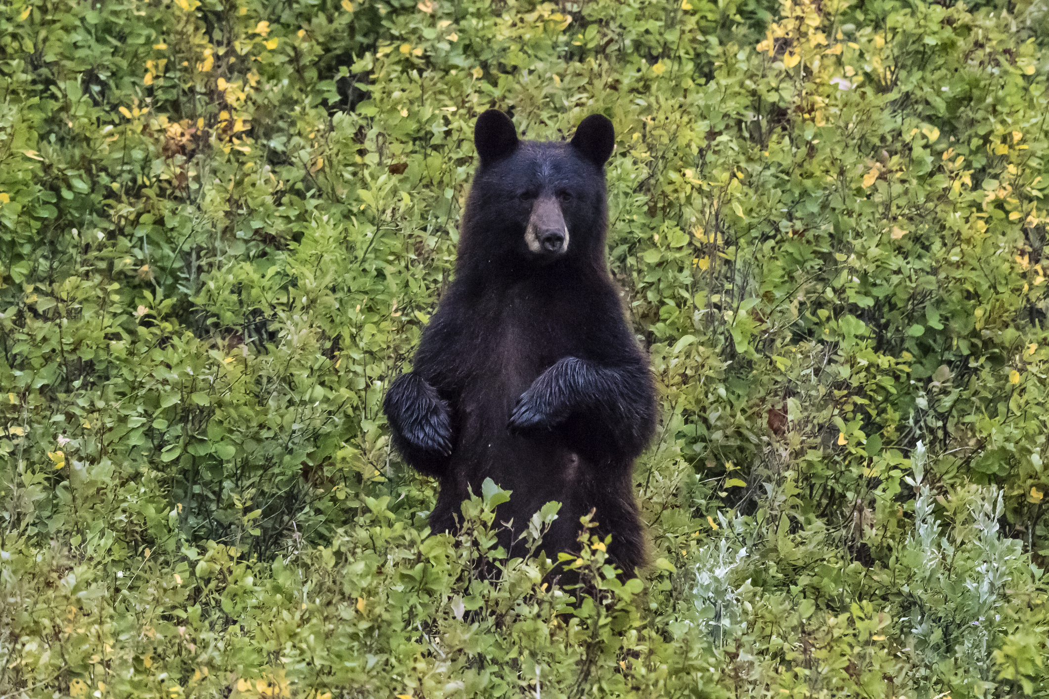Stock image of black bear. (Getty Images)