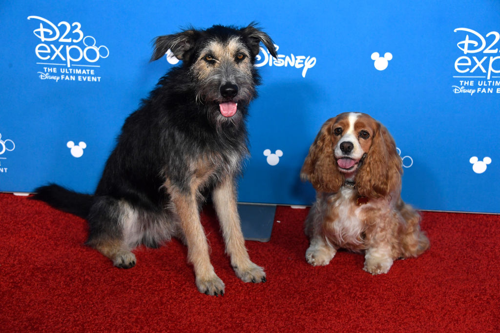 Shelter Dog Becomes Star In Lady And The Tramp Myfox8 Com