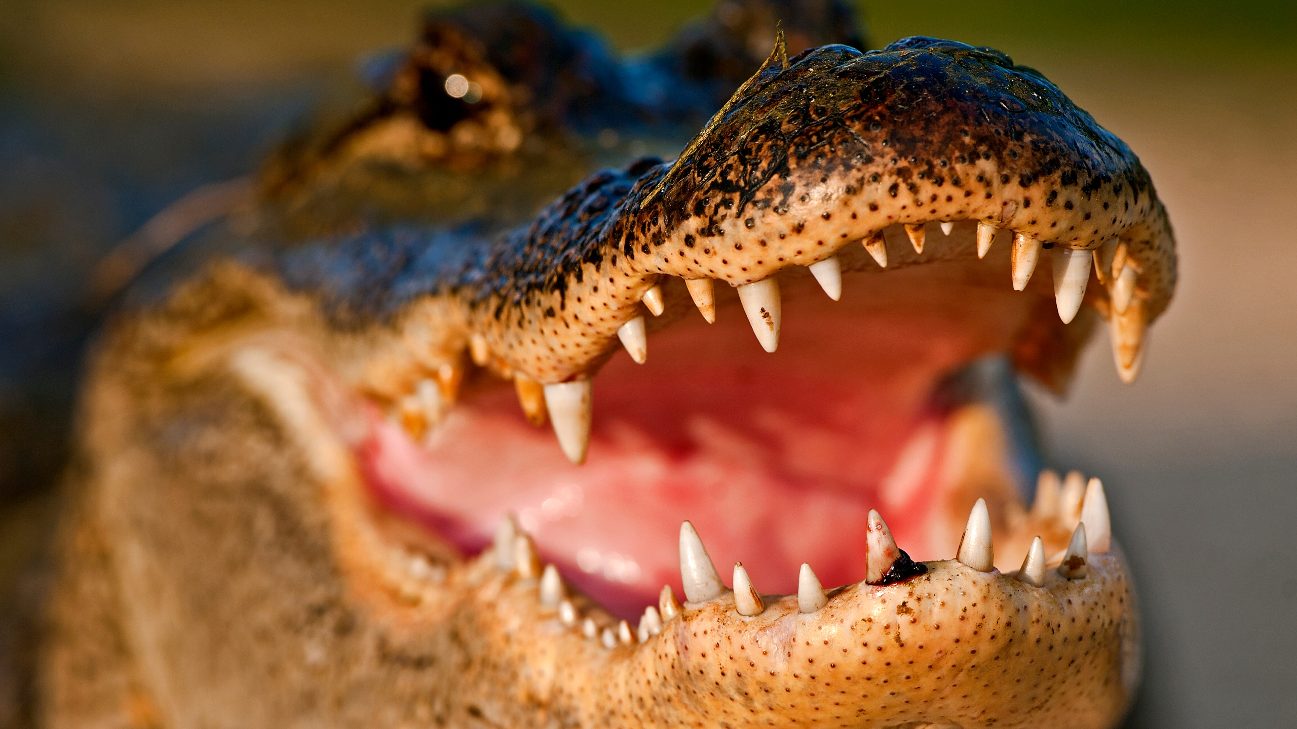 Alligator (Stock image/Getty)