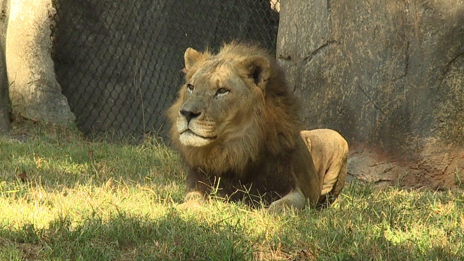 Nc Zoo S Riley The Lion Hits An Astounding 20 Years Old Myfox8 Com