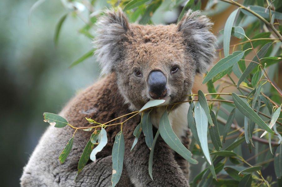 More Than A Dozen Deaths Confirmed As Wildfires Devastate Australia Koalas Endangered Myfox8 Com