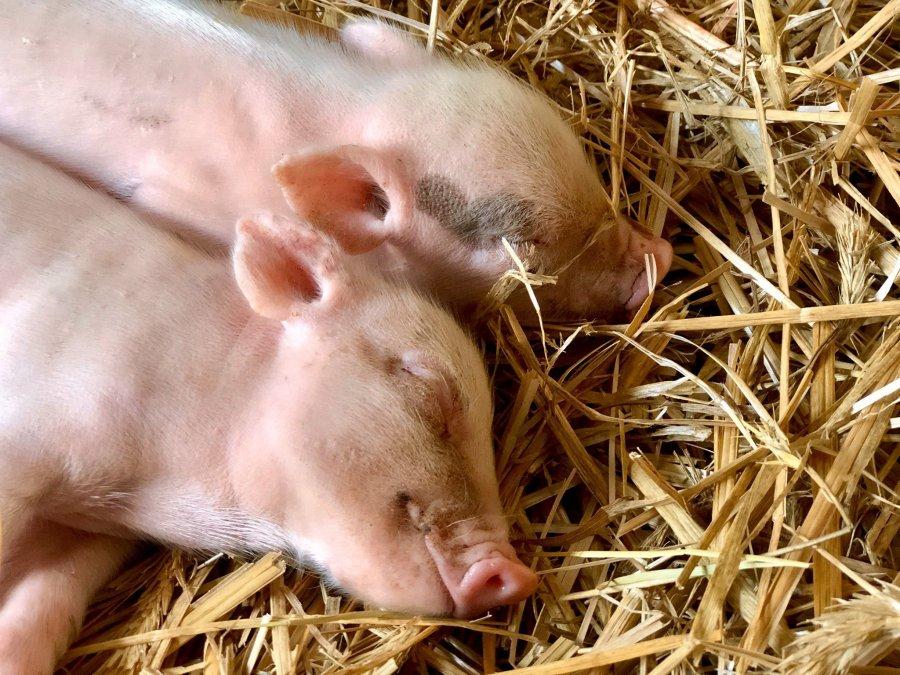 Meet the pigs of Cotton Branch Farm Sanctuary. (Cotton Branch Farm Sanctuary)
