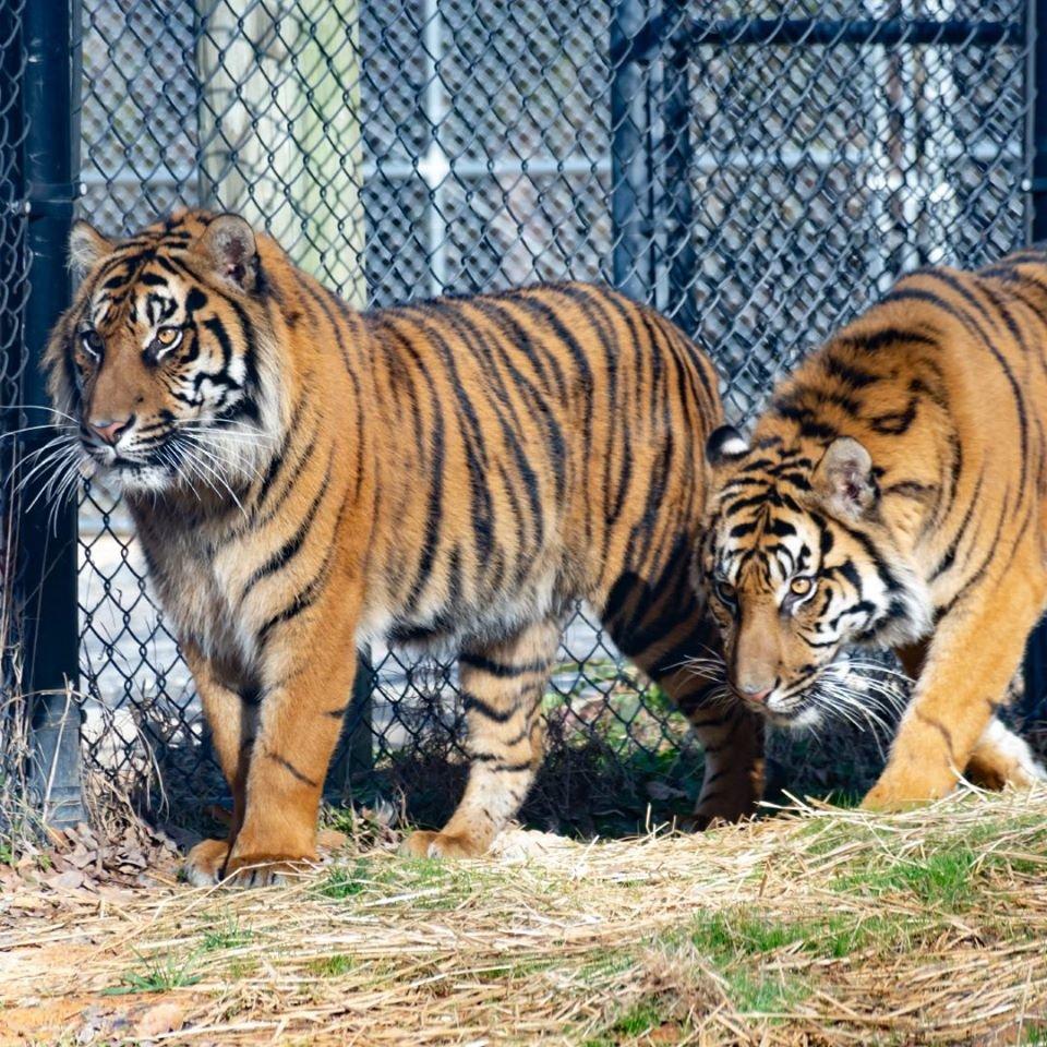 Greensboro Science Center tigers