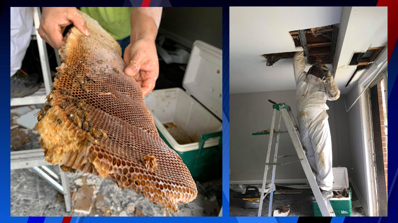 Virginia Wildlife Management and Control shared photos of the massive hive, which measured 16 inches across, on Monday.