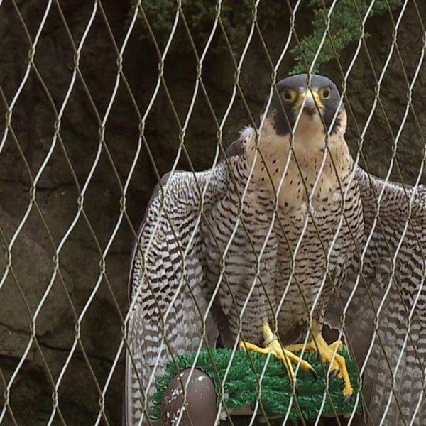 Peregrine falcon at the North Carolina Zoo