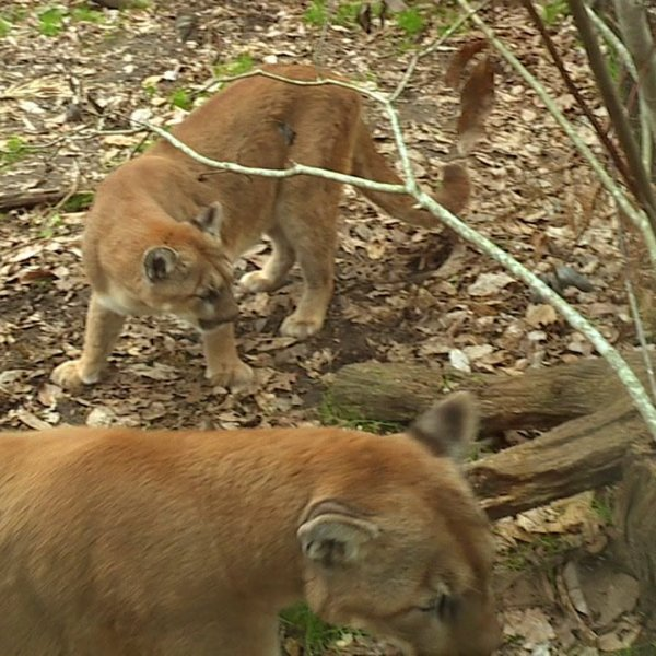 Two cougars were rescued and now call the North Carolina Zoo home.