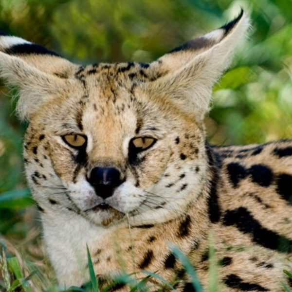 "A serval named Masufa ""Sufi"" Serval visited the veterinarian on Tuesday due to age-related complications, and the center says the decision was made to let him pass in peace (Conservators Center)"