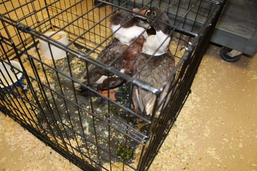 Bricen Wall and his wife, Chasity, adopted two ducks that were brought to the Rockingham County Animal Shelter