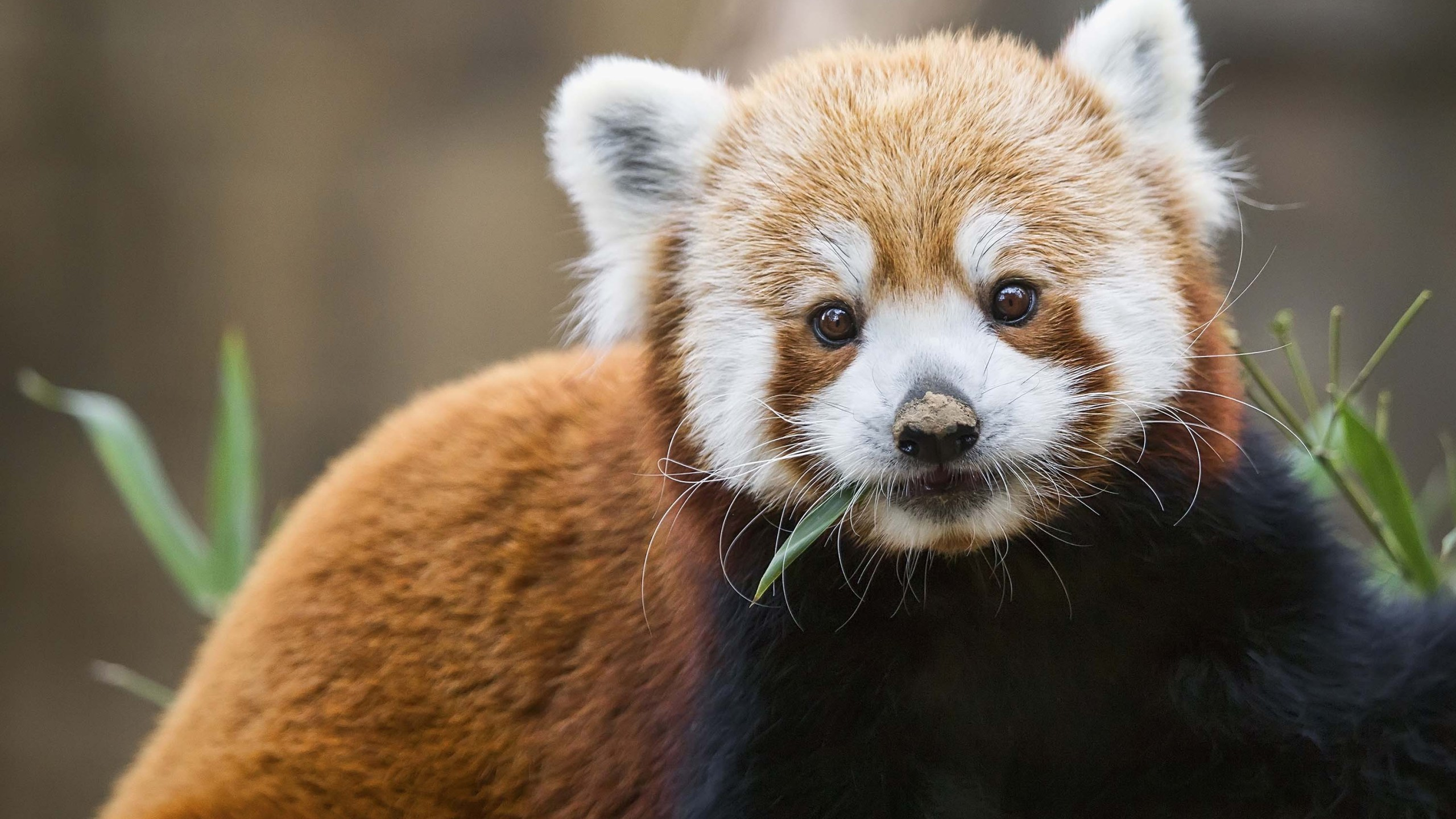 Red panda (Bill Kennedy/Shutterstock)