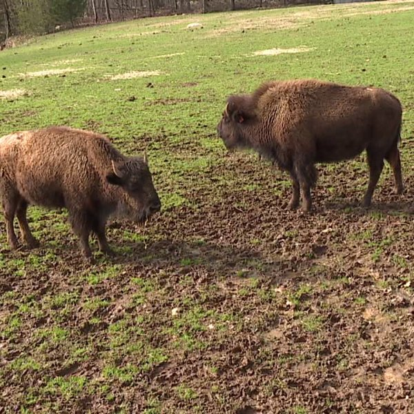 Meet the new bison at the NC Zoo