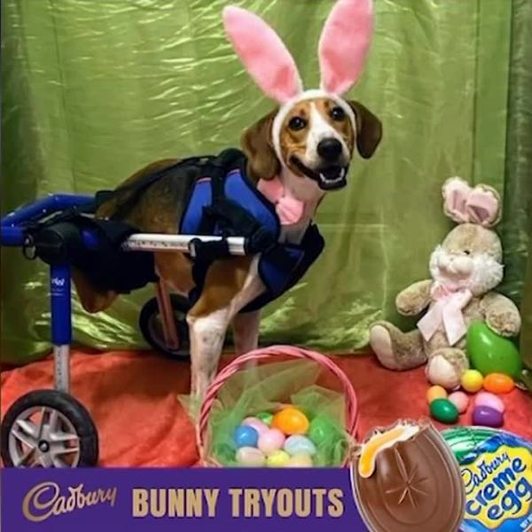 A two-legged coonhound named Lieutenant Dan is a finalist to be this year's Cadbury Bunny