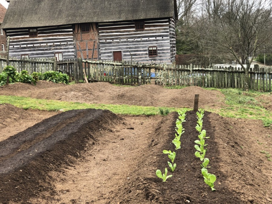 """Old Salem Museums & Gardens transforms garden plots into """"Victory Gardens"""" to grow food for those in need"""