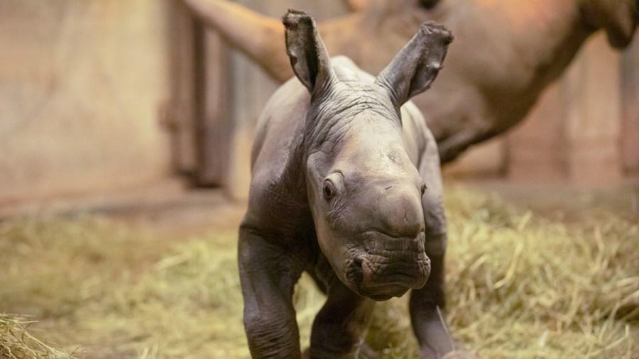 Unnamed baby rhino (Photo credit Moriah Angott/North Carolina Zoo.)