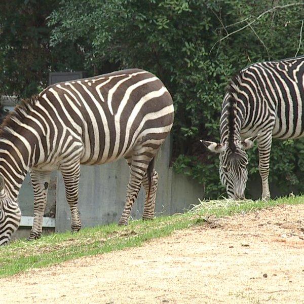 Zebras find home at North Carolina Zoo