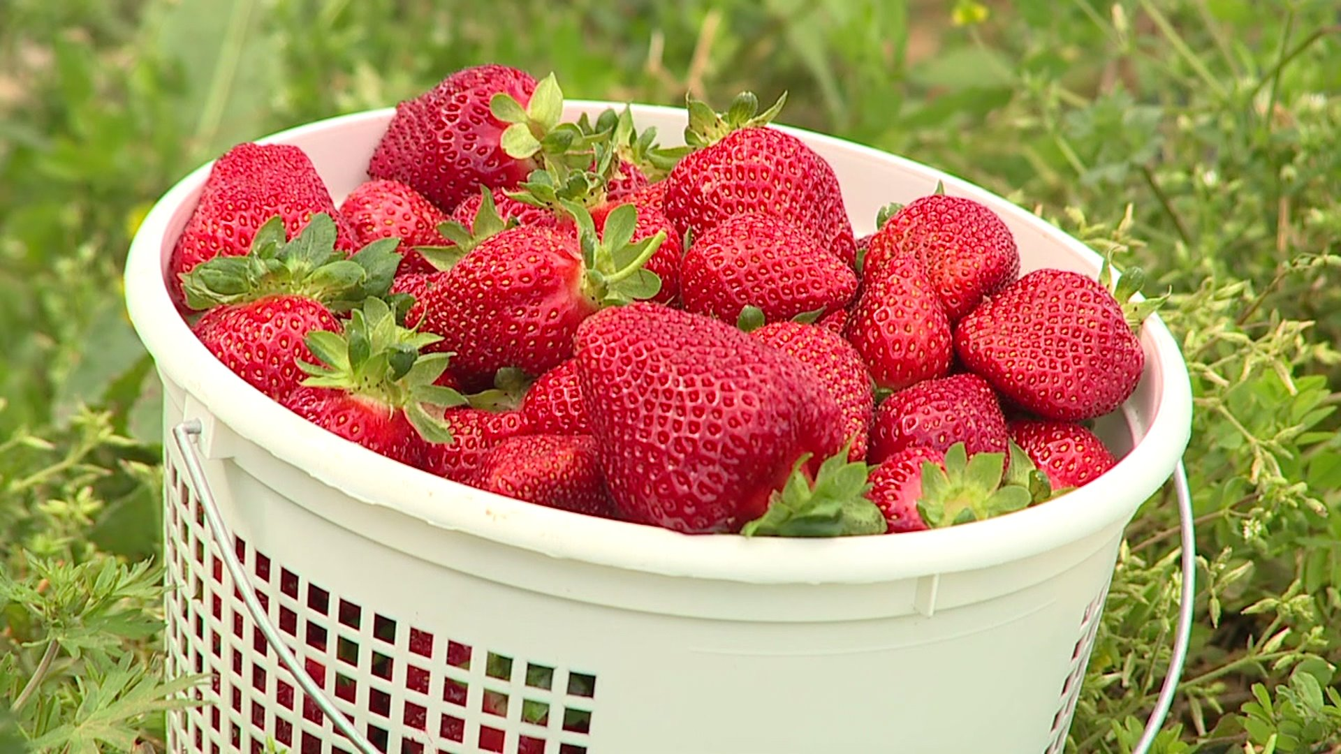 Strawberries at Rudd Farm in Greensboro