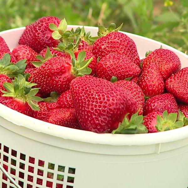 Strawberries at Rudd Farm in Greensboro