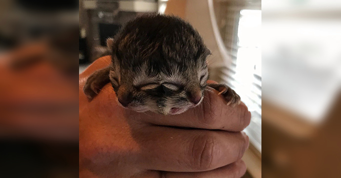 Biscuit and Gravy, the two-faced kitten, May 21, 2020 (courtesy BJ King)