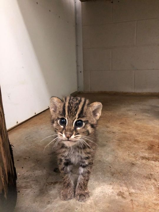 Greensboro Science Center asks for help naming fishing kittens (Greensboro Science Center)