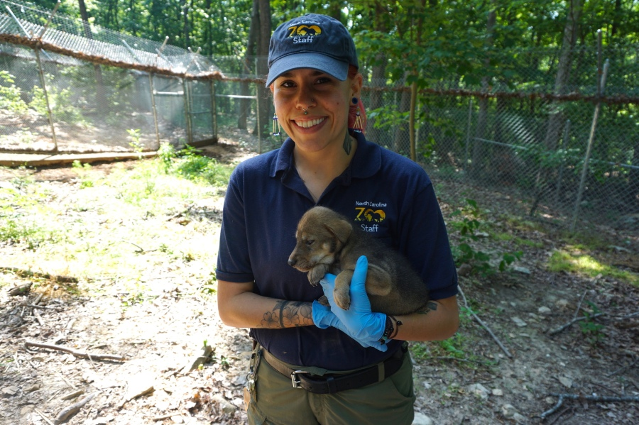 NC Zoo welcomes two more American red wolf pups. (Photo credit: North Carolina Zoo)
