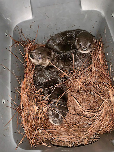 Recently-orphaned otter pups create foster family at North Carolina Zoo (Halley Buckanoff/North Carolina Zoo)