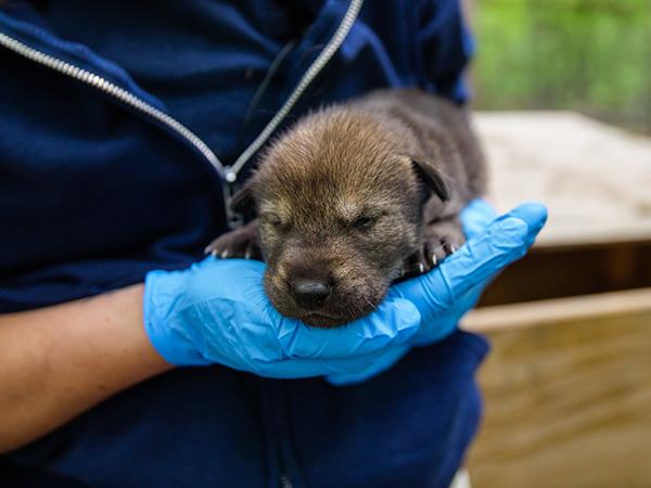 American red wolves born at North Carolina Zoo. (Moriah Angott/North Carolina Zoo)