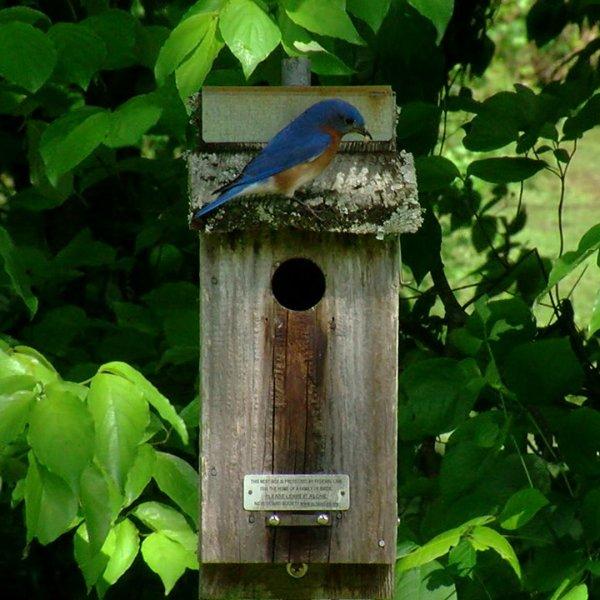 Burlington Bird Club keeps watchful eye on bluebird population