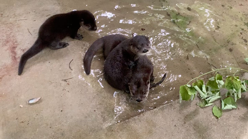 Recently-orphaned otter pups create foster family at North Carolina Zoo (Halley Buckanoff/North Carolina Zoo)