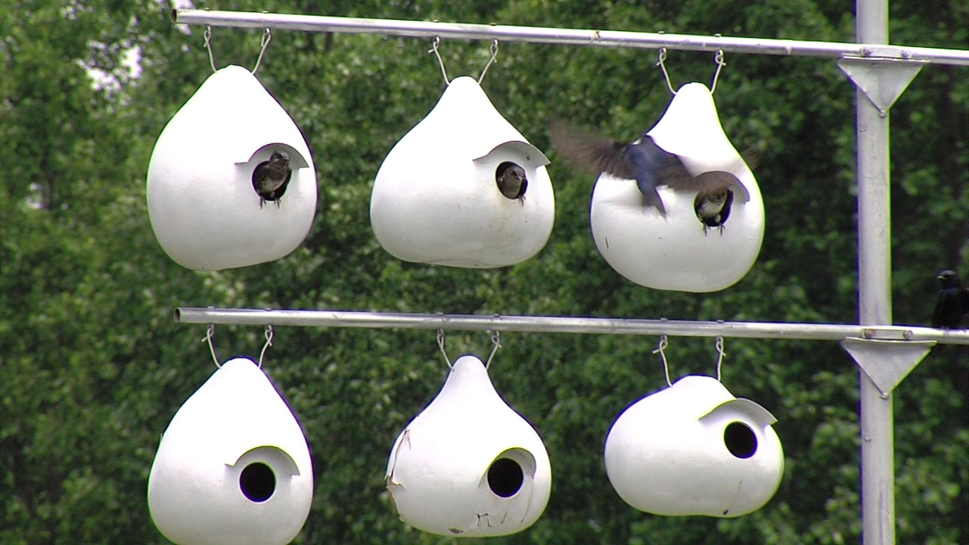 Midway man turns a backyard into Purple Martin paradise