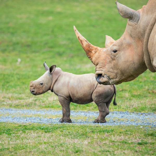 Jojo the baby rhino (North Carolina Zoo)