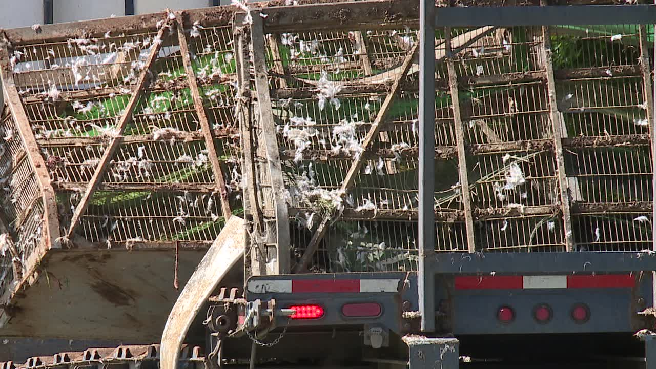 Tractor-trailer hauling chickens overturns on Grantville Lane in Randolph County