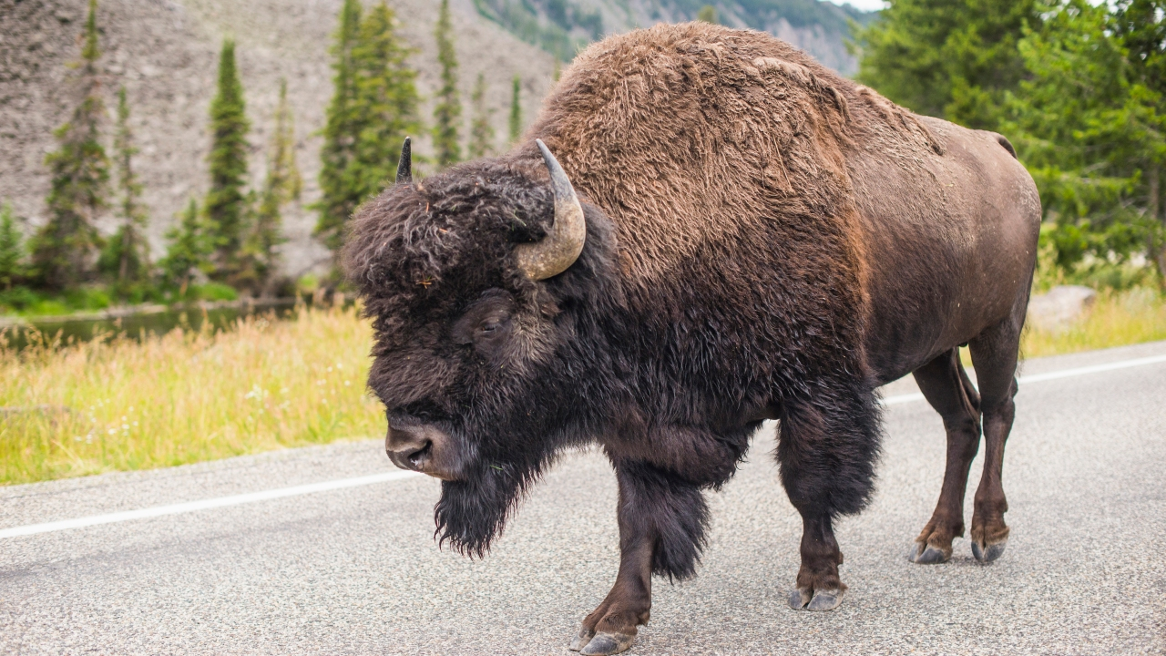 The woman approached the bison to take a picture and got within 10 feet of it multiple times before it gored her on June 25, according to the release.