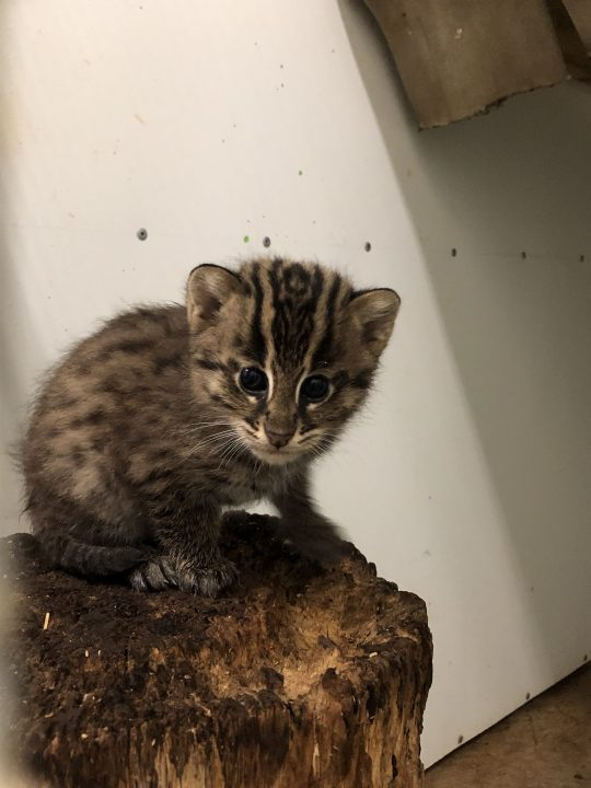 Greensboro Science Center asks for help naming 2 fishing kittens