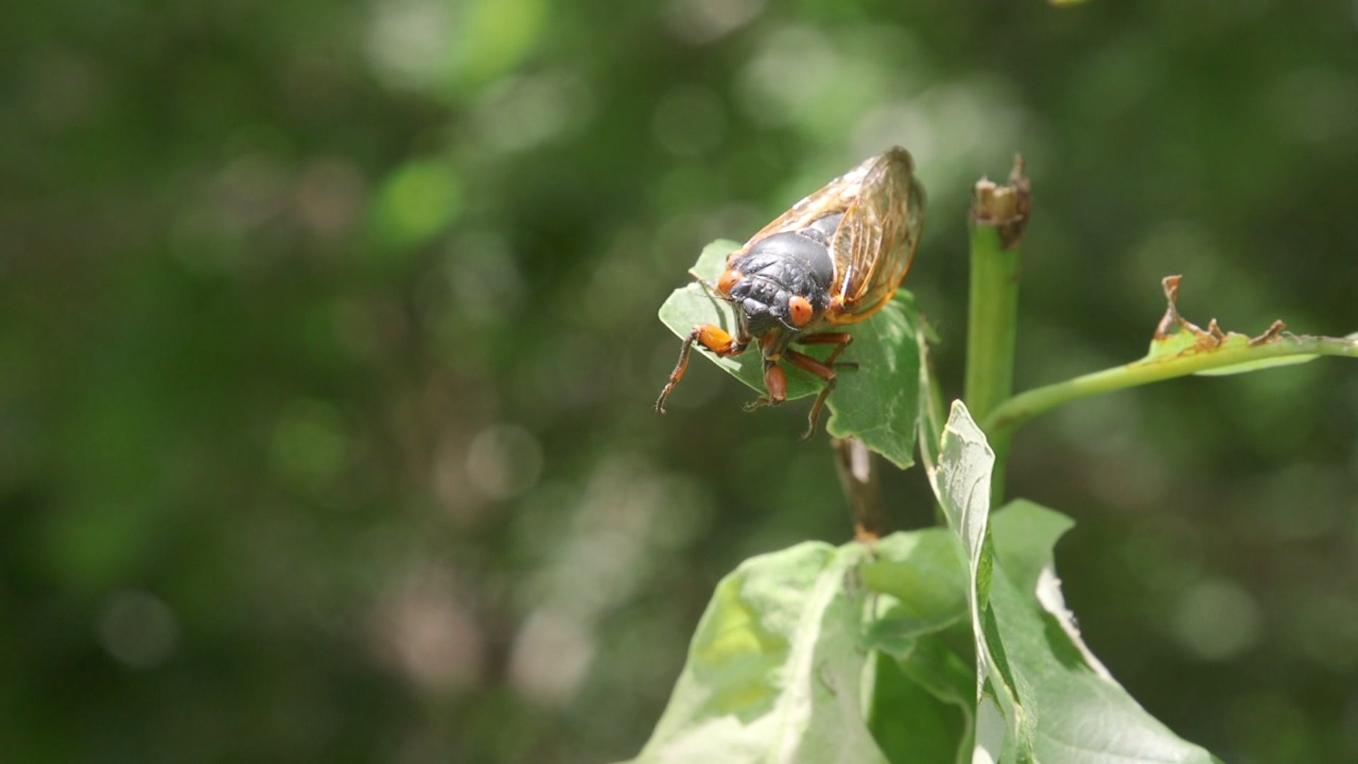 17-year cicadas making an appearance in Ararat, Virginia