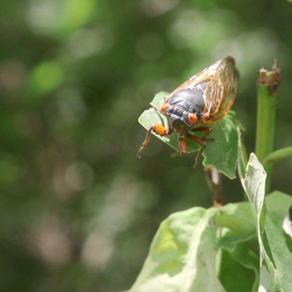 17-year cicadas making an appearance in Ararat, Virginia