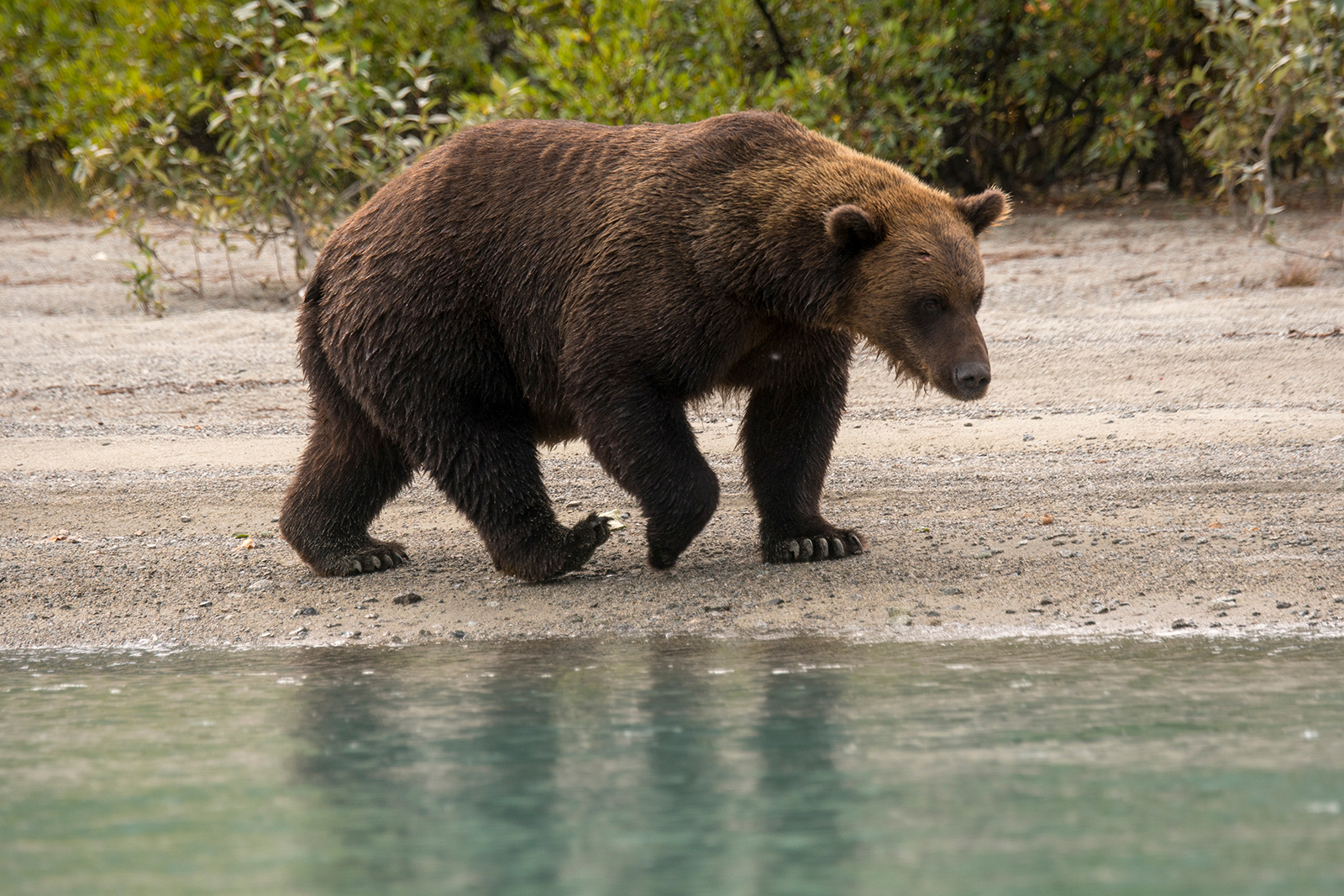 ALASKA, UNITED STATES - 2019/08/21: A Brown bear (Ursus arctos) is walking and looking for salmon on a beach along the shore of Lake Crescent in Lake Clark National Park and Preserve, Alaska, USA. (Photo by Wolfgang Kaehler/LightRocket via Getty Images)
