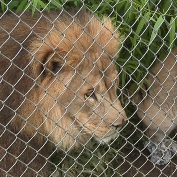 Carolina Tiger Rescue in Chatham County aims to care for exotic animals when others can't