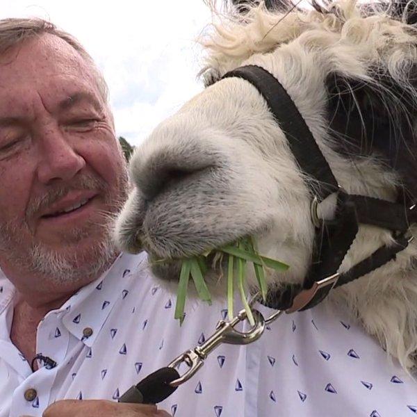 Yadkin County vineyard pairs fine wine with massive herd of llamas