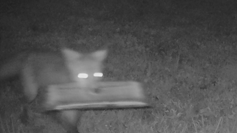 Winston-Salem couple catches foxes' antics in backyard with game cameras