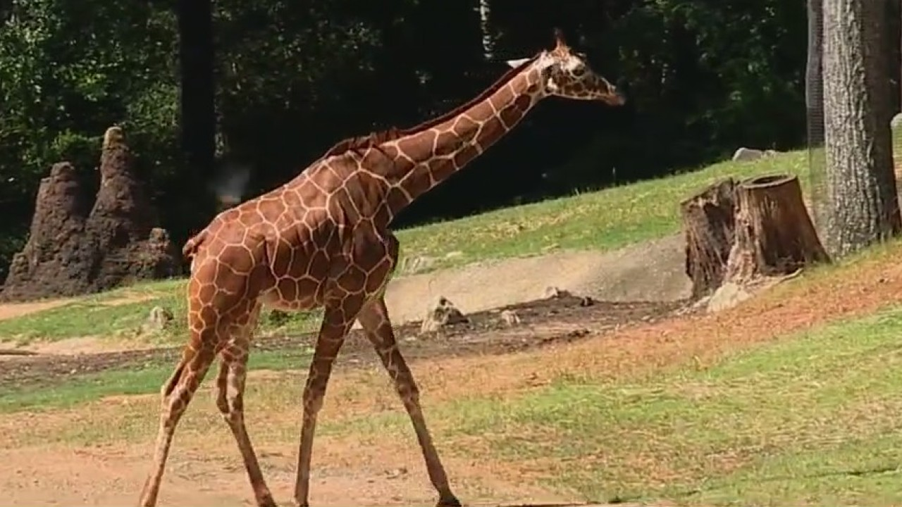 2-year-old giraffe joins North Carolina Zoo family