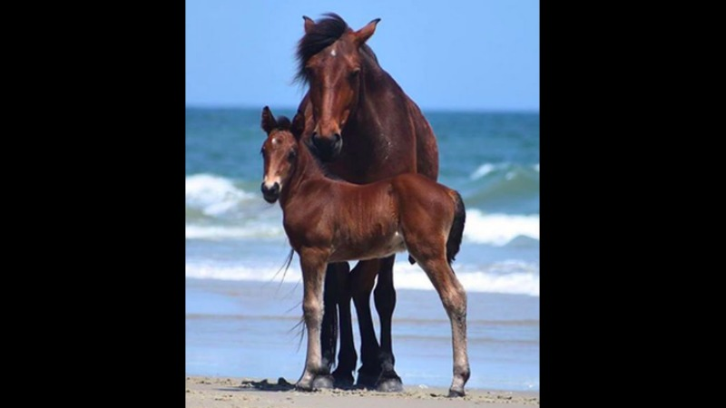 A mother horse poses with her colt, Danny (Source: Bruce Wilkins | Corolla Wild Horse Fund)