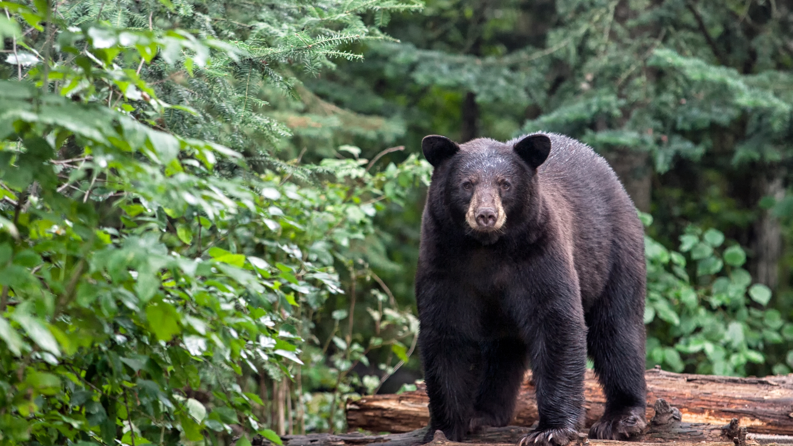 File photo of a bear. (Credit: Getty Images)
