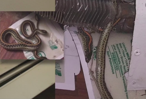 Woman says hole in wall led to 'at least 25, 30' snakes invading her apartment