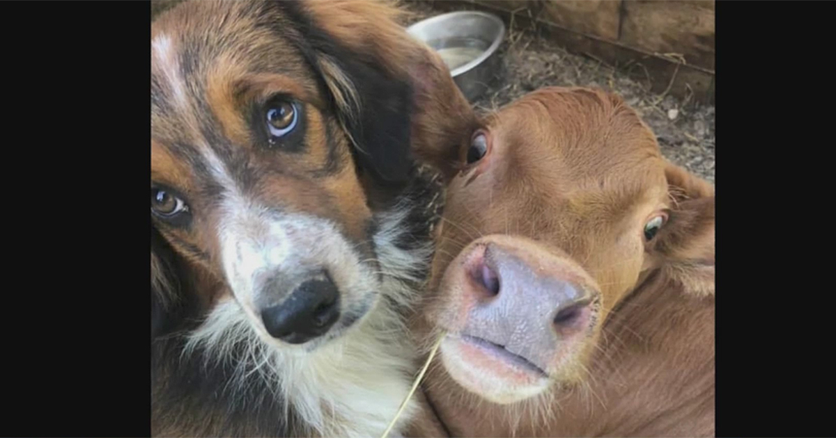 Failed cattle dog and disabled calf share unbreakable bond