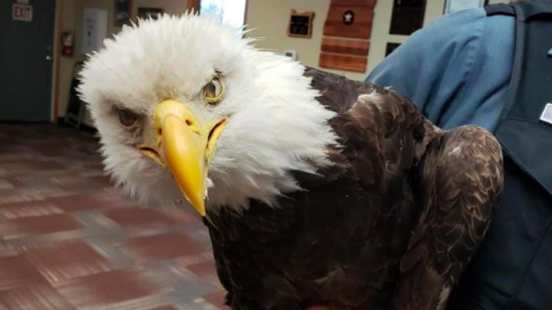 State troopers help save injured American Bald eagle
