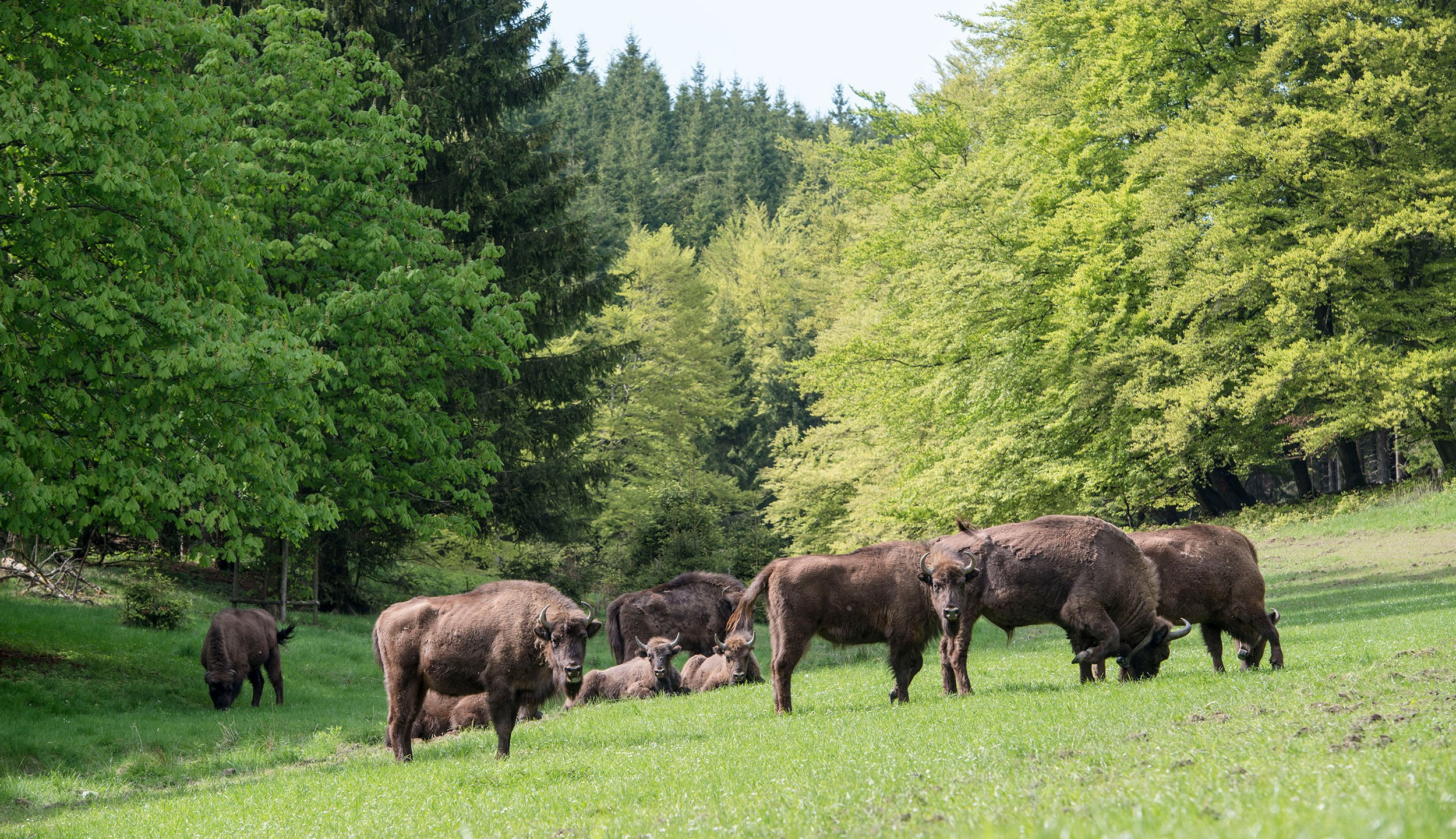 BAD BERLEBURG, GERMANY - MAY 05: A herd of eight European bison graze in the Rothaargebirge mountain range on May 5, 2014 near Bad Berleburg, Germany. The herd is a project of Wisent Welt Wittgenstein, a government-funded initiative which last year released the herd in an effort to restock the bison in the wild. European bison were once plentiful across Europe and Russia, though their numbers were decimated to near extinction by hunting and habitat encroachment. (Photo by Thomas Lohnes/Getty Images)