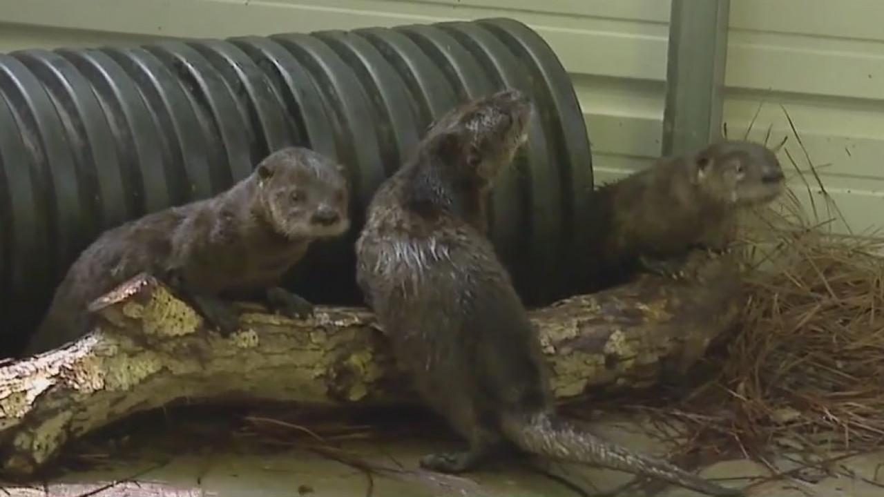 North Carolina Zoo helps 4 orphaned otters get ready for life in the wild