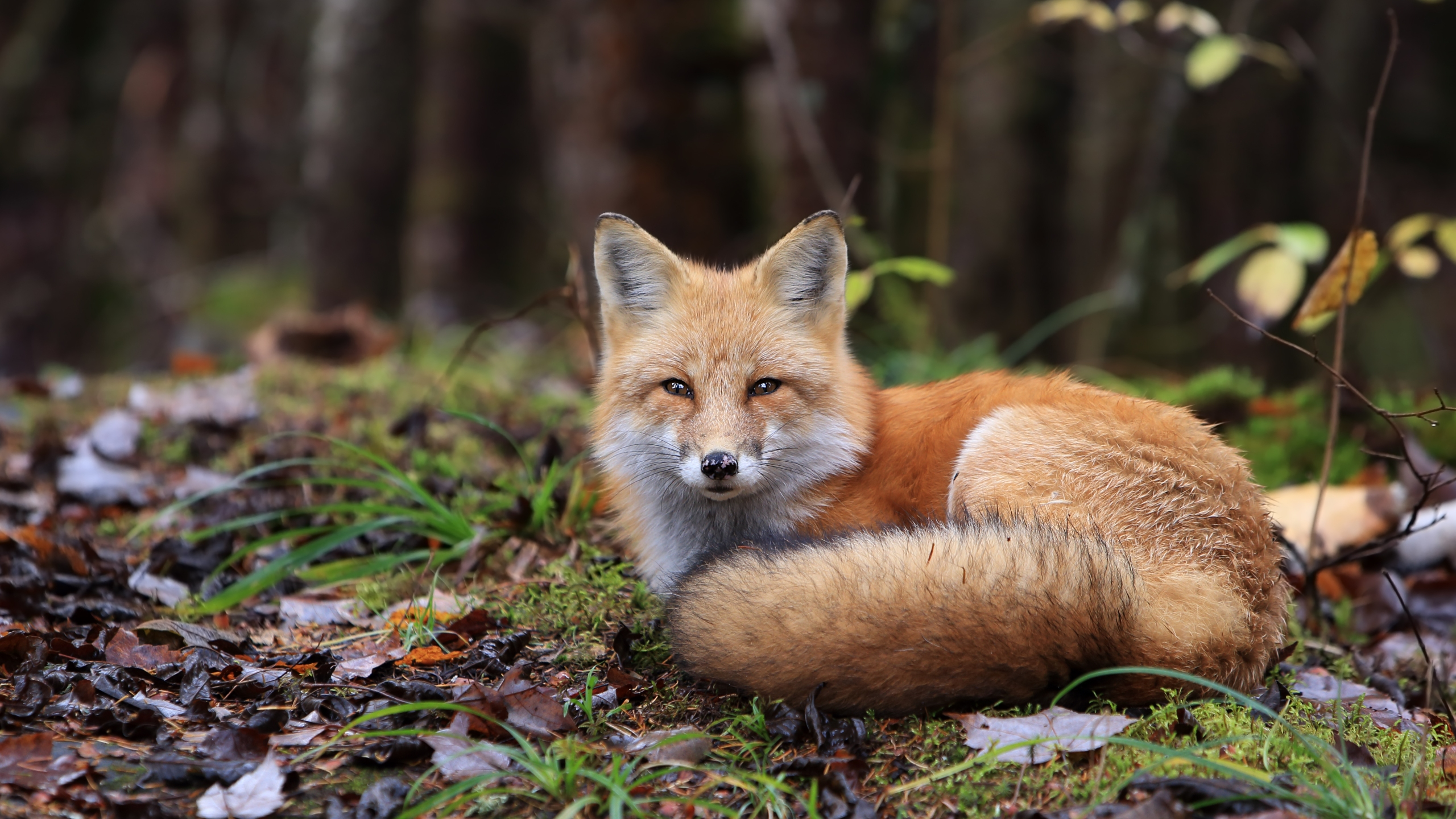 Stock photo of a fox (Getty Images)