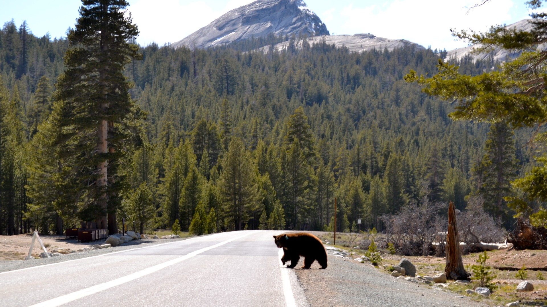 FILE: A bear is seen crossing a read in this file photo from Yosemite National Park.